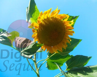 Sunflower in the Wind Photograpgh