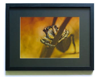 Original framed macro photo print of a Zebra jumping spider. Wooden deep frame for wall hanging.