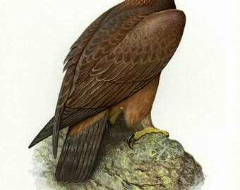 Vintage lithograph of the golden eagle from 1956