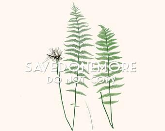 Vintage Botanical Fern Print Instant Download Make Your Own Art {Fern 29}