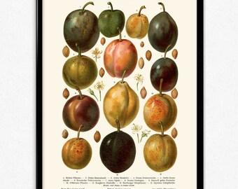 Plums Fruit Vintage Print - Plums Poster - Plums Art - Plum Picture - Fruit Print - Fruit Poster - Fruit Art - Fruit Picture - Kitchen Decor