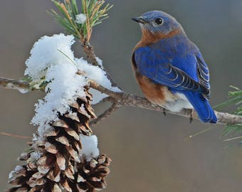Eastern Bluebird, bluebird on pine limb, Vermont songbird, best bird photos, wildlife art, for bird lovers, Title: Winter's Solstice""