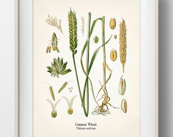 Vintage Wheat Botanical Print - KO-40 - Fine art print of an antique natural history botanical illustration