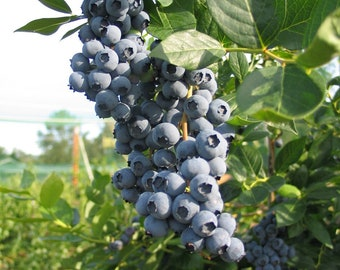 Blueberry BUSH PLANTS 10 TO 18 inches