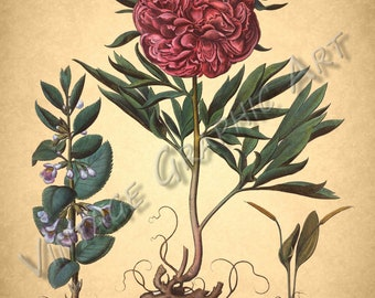 Antique Floral Illustrations for Decoupage, Wall Art Prints, Collages PEONY 030