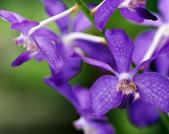 Orchid - Vanda Chostylis Prapawan …. Stock #284-6