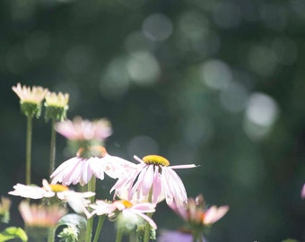 Photo Print - Purple Cone Flower, Pink Coneflower, Dreamy Pink Flowers and Bokeh