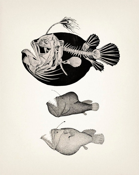 Angler Fish Skeleton Scientific Anatomy Drawing OE-01 Fine