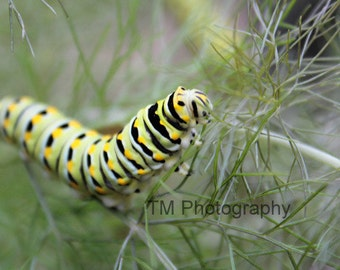 Black Swallowtail Caterpillar - Caterpillar - Butterfly - Colorful Caterpillar - Swallowtail Macro - Fine Art Photography