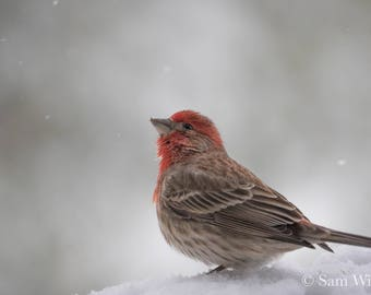Winter Wonder -  Nature Photography Wall Art - Beautiful House Finch gazing at the falling snow - Black & White Color Splash Home Decor