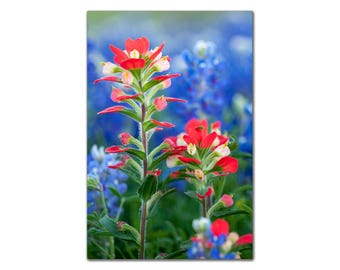 Close-up of Indian Paintbrush and Texas Bluebonnets Flowers, Bluebonnet Art, Wall Art Red and Blue Fine art Photo decor floral nature print