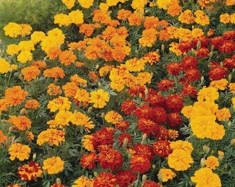 1,000 Bulk Marigold Seeds Marigold Durango Mix