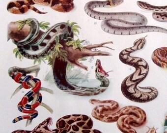 Vintage Original Natural History Lithograph print- Various kind of snakes and reptiles viper cobra python