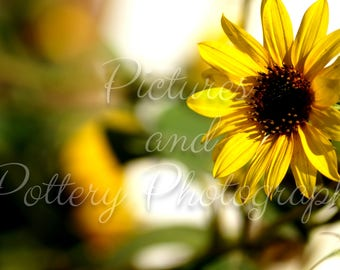 Sunflower Photography Print