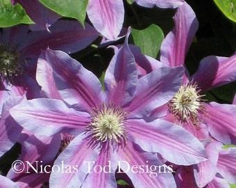 Purple Clematis Climb 8x10 photo