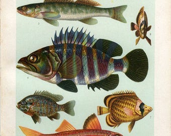 Original old color lithograph print of fish Baars (Perch), Perca fluviatilis. Pos (Ruffe), Acerina cernua. Circa 1900