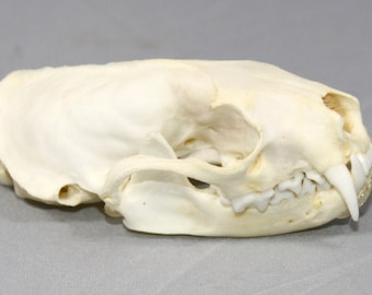 Real bone natural,Mink Skull