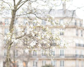 Paris Photography -  White Star Magnolias, Spring in Paris, Travel Fine Art Photograph, Large Wall Art
