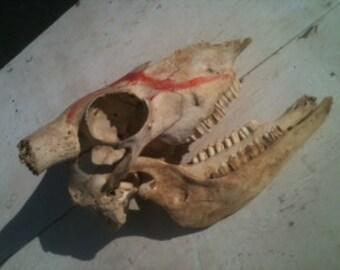 Wild Animal Horned Skull 1980's vintage Texas Sheep Ram Skull with jaw bone base of horns Hunting relic  natural Texana wildlife Primitive