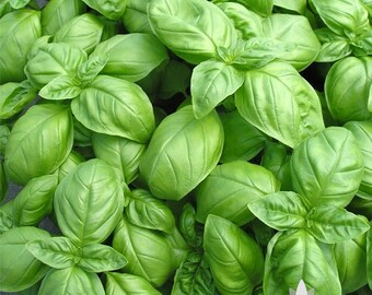 Genovese Basil Herb Heirloom Seeds - Non-GMO, Open Pollinated, Untreated
