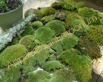 Super Mix Live Fresh Moss High Quality for Terrariums, Vivariums, Fairy Gardens, Moss Dish Gardens, Bath Mats