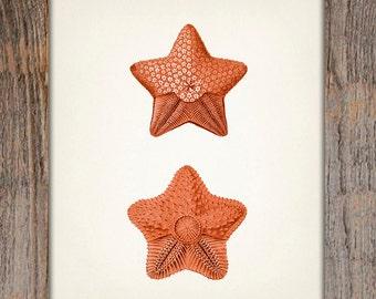 Orange Starfish 2- 8x10 - Fine art print of a vintage natural history antique illustration,