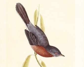 Antique Dartford Warbler Print . original old vintage bird plate woodblock . vol III, dated 1853 art specimen illustration