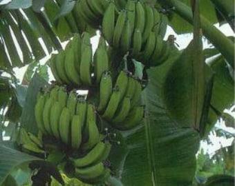 Banana Goldfinger    -  1 Plants - 1  Feet Fall -  Ship in 1 Gal Pot