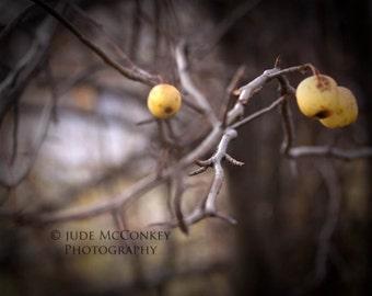 apple tree woods home decor yellow apples fine art photograph print