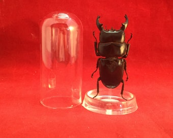 F-7 Entomology Taxidermy Black Stag Beetle Short Horn Beetle Glass dome Display specimen collectible