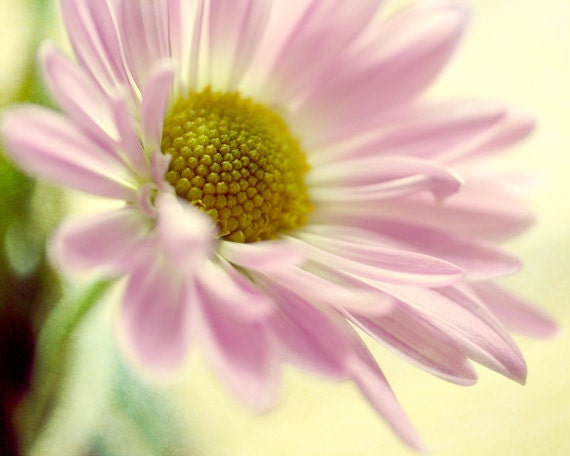 Pink yellow wall art flower canvas photography Daisy floral