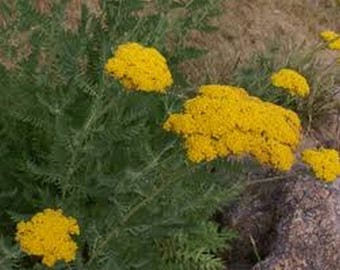 Yarrow- Gold- 250 Seeds