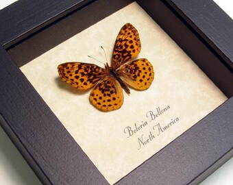 Real Framed Boloria Bellona Meadow Fritillary Butterfly 8080
