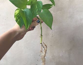 Fully Rooted Live Golden Pothos Cuttings