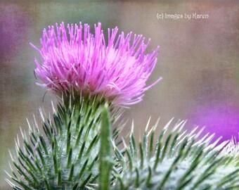 Flower Photography, Fine Art Photography - Purple Thistle