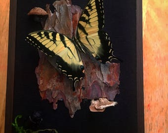 REAL Tiger swallowtail butterfly in a 5x7 black shadow box