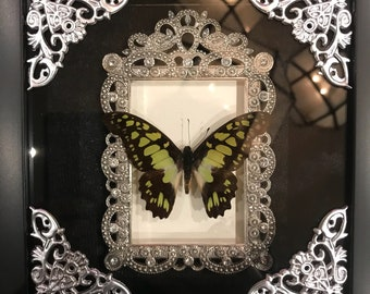 Beautiful lime green butterfly taxidermy display! Real!