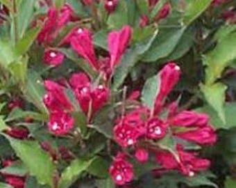 Red Prince Weigela ( florida ) - Live Plant - Quart Pot