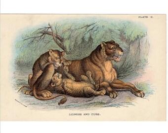 c. 1894 LIONESS AND CUBS lithograph - original antique print - african safari animal big cat lion mother's day print