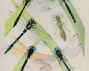 Antique print. DRAGONFLIES 5 Colored lithograph 57 years old print. Antique beetle insect print plate.6 x 4.25 inches, 15x10.75cm