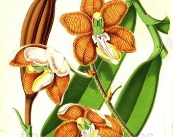 antique french botanical illustration vanda orchid botanical print DIGITAL DOWNLOAD