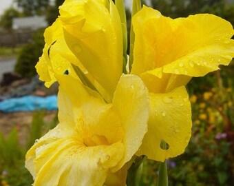 Bulbe de lis Canna - Bonjour jaune - Cannaceae - grande plante en pot - 1 ampoule / Rhizome