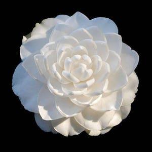 Camellia japonica 'Sea Foam' (Quart Pot)
