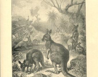 Antique Victorian Engraving Print of Kangaroo 1880s
