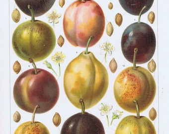 old print plums 1895