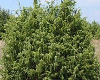 50 Common Juniper Tree Seeds, Juniperus communis