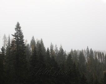 Fog And Evergreens