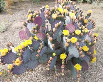 Purple Cactus / 3 Prickly Pear Pads / Opuntia Santa-rita / Santa Rita Prickly Pear Cactus Cuttings Live Cactus Large Cactus Plant Cacti