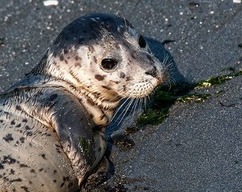 Harbor Seal pup photo, Seal Image, Harbor Seal Picture, Harbor Seal Portrait