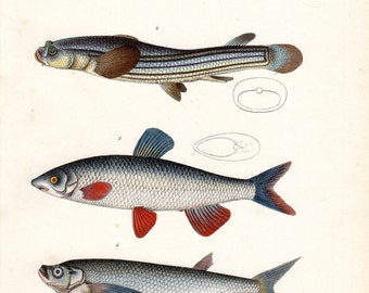1836 Antique Fish Print Four Eye Nase Brodtmann Fish Print Schinz Folio Pl 74